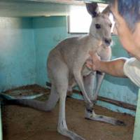 Back behind bars: A male kangaroo is placed in a cage at Horii Zoo in Moriyama, Shiga Prefecture, after it was caught in a rice paddy following a five-hour search by zoo workers. | KYODO PHOTO
