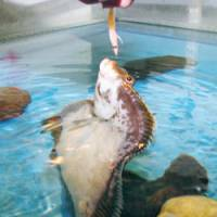 Begging for a bite: A slime flounder rises out of the water for food at Echizengani Museum in Fukui Prefecture. | KYODO PHOTO