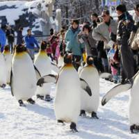 Tourist attraction: King penguins march in front of visitors at Asahiyama Zoo in Hokkaido on Sunday. The parade, which continues daily until around mid-March, is a popular winter attraction as the birds walk about 500 meters between their pen and their feeding area. | KYODO PHOTO