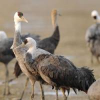 Just flu in: Wild cranes gather on the Izumi plain in Kagoshima Prefecture on Tuesday. The highly infectious H5N1 strain of avian flu was found in a dead wild crane there the same day. | KYODO PHOTO