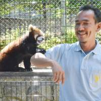 Red pandas thriving at Nagano Chausuyama Zoo