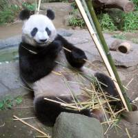 Eating for one: Shin Shin, a giant female panda, nibbles bamboo leaves Saturday at Ueno Zoo in Tokyo. | UENO ZOO/KYODO