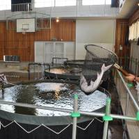 After-school special: Sturgeons are raised inside a gymnasium of a former junior high school in Higashikagawa, Kagawa Prefecture, in July. | KYODO