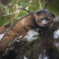 New face: This undated photo provided by the Smithsonian Institution shows an olinguito. | AP