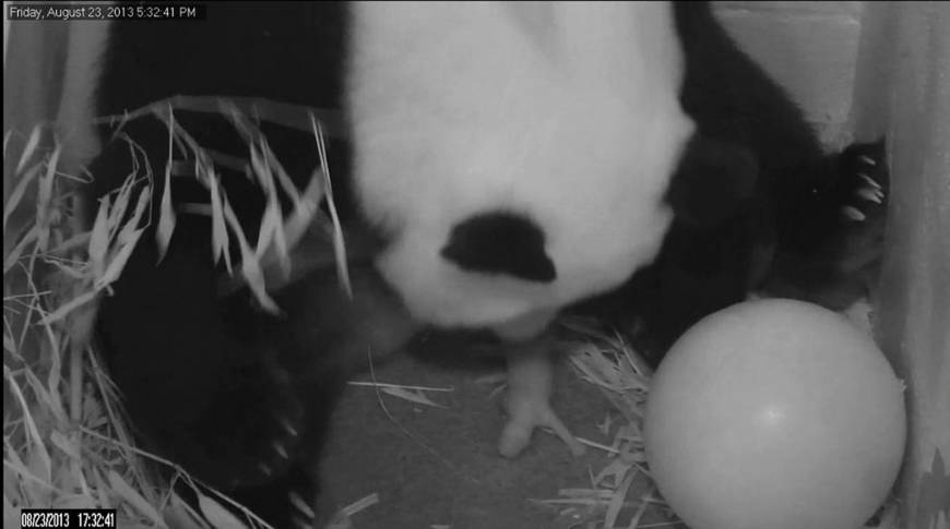 Hopes high at U.S. National Zoo after giant panda gives birth to cub
