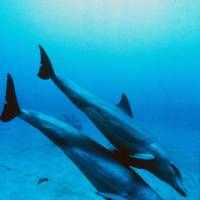 Dolphin deaths, linked to virus, worst in years