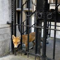 Foxhole: A fox looks through the gate at the Royal Courts of Justice in central London. | AFP-JIJI