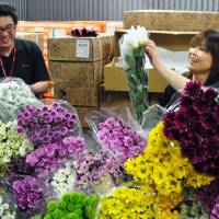 Quality control: Traders on Wednesday check on chrysanthemums imported from Malaysia in Narita, Chiba Prefecture. | KYODO