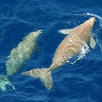 We're back: Dugongs swim to the surface off the northwestern coast of Okinawa Island in July 2005. | ENVIRONMENT MINISTRY/KYODO