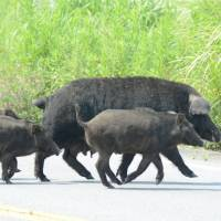 The grass is greener: Wild boars cross a road last month in Tomioka, Fukushima Prefecture, a town located within the 20- km no-go zone around the crippled Fukushima No. 1 nuclear plant.   KYODO