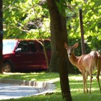 Public enemy?: A deer stands next to a parking lot in Rock Creek Park in Washington in July . | AFP-JIJI