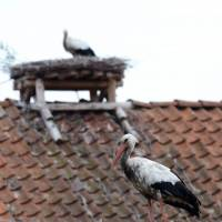 Lucky: Storks stand on their nests in Zywkowo, Poland. | AFP-JIJI