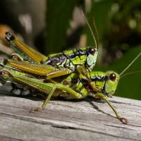 Double vision: Zooming in and framing tightly makes for this detailed image of mating Podisma sapporensis grasshoppers — but no camera yet comes with a 'patience'setting. | PHOTO BY MARK BRAZIL