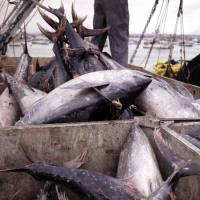 Fair catch: Sustainably harvested tuna caught by local boats is landed at Manta, Ecuador. Worldwide, gross overfishing has seriously depleted stocks of many key food species. | © CONSERVATION INTERNATIONAL / KEITH LAWRENCE