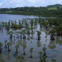 A section of Kohama's extensive wildfowl-rich mangrove areas. | STEPHEN MANSFIELD PHOTO