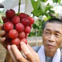 A grower tends a cluster of Ruby Roman grapes in a vineyard in Kahoku, Ishikawa Prefecture, in August 2008. | AFP-JIJI