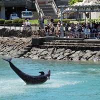 Taiji entertainment: Visitors watch a dolphin perform in a pool at the Taiji Whale Museum in Taiji, Wakayama Prefecture, in August 2010. The town is planning a marine park to let visitors swim with dolphins. | BLOOMBERG