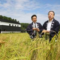 Norimichi Kusumi (right) and his son, Yoshitaka, hold rice ears of the Kame no O strain in a paddy in front of Kusumi Shuzo's brewing plants in Nagaoka on the same day. | KYODO