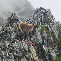 Scenic view: Two Japanese macaques climb among rocks on Mount Otensho in Nagano Prefecture in September. | KYODO