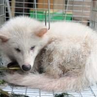 White raccoon dog | KYODO