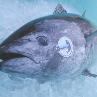 The Kindai Maguro trademarked Pacific bluefin tuna cultivated by Kinki University's Fisheries Laboratory will be the main fare at a restaurant the school will open Dec. 2 in Tokyo. | KINKI UNIVERSITY