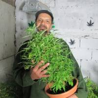Budding market: Alvaro Calistro, who has been arrested in the past on suspicion of trafficking marijuana, displays one of his marijuana plants in Montevideo on Oct. 19 | THE WASHINGTON POST