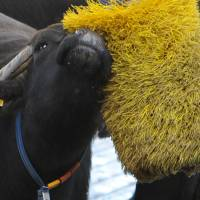 Massage time: A water buffalo rubs against a brush at the Tenuta Vannulo dairy farm. | AFP-JIJI