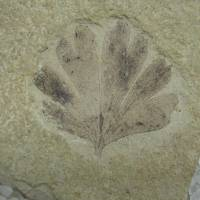 Unique ginkgoes are living fossils