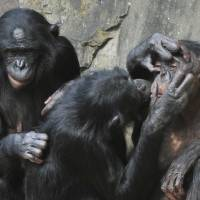 Similar behavior: Female bonobos play together at the Planckendael zoo in Belgium. A recent study discovered that there are striking similarities between the emotional development of bonobos and that of children. | AFP-JIJI