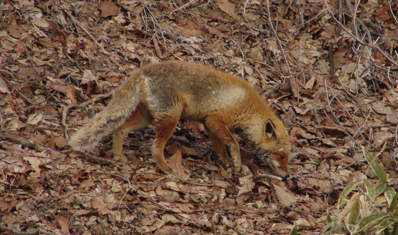 Fur dinkum: The Red Fox, one of Japan's more ubiquitous mammals.   MARK BRAZIL PHOTO