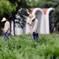 Grass-roots effort: People work in 'super pasture grass' jointly developed by Japanese and Colombian researchers at the International Center for Tropical Agriculture in Cali, Colombia, in this undated photo. | CIAT/KYODO
