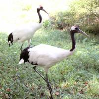 Crane breeding center crowded as birds age