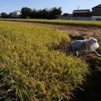 No limits: A farmer harvests rice in a paddy in Sakura, Chiba Prefecture, in late August. The Liberal Democratic Party-led government proposed Wednesday to abolish in 2018 the decades-old state program limiting rice cultivation   BLOOMBERG