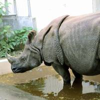 Easy: Gopon is one of the two Indian rhinos kept at Kanazawa Zoo in Yokohama. | KYODO