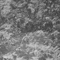 Caught on film: This Sept. 7 photo released by WWF shows a Saola (right) in a forest of Vietnam. The long-horned ox, one of the rarest and most threatened mammals on Earth, has been caught on camera in Vietnam for the first time in 15 years, renewing hope for the species' recovery   AP