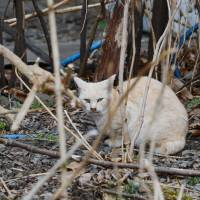 Survival of the fittest: The animals hardy enough to survive the harsh Tohoku winters do what comes naturally and breed, resulting in a sharp rise in feral cats and dogs in Fukushima. | MAKOTO  YAMAMURA