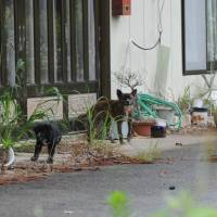 Someone's home:  Two pups and their mother were found in an empty house in Katsurao village in June by an Animal Rescue System Fund volunteer. | MAKOTO  YAMAMURA