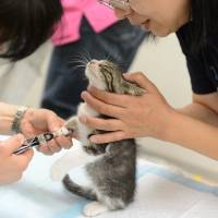 NBA star: A kitten is has its nails trimmed by volunteers at Fukushima Spay Clinic before being put up for adoption. The clinic strictly adheres to an NBA (neuter before adoption) policy.   MAKOTO  YAMAMURA