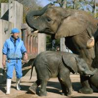 Father figure: Osamu Shiina looks after African elephants at Tobe Zoological Park in Ehime Prefecture on Nov. 21. | KYODO