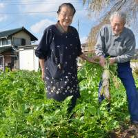 Toughing it out: Kinjiro Ide and his wife, Toshi, pull up a daikon in their vegetable garden in the village of Kawauchi, Fukushima Prefecture, on Nov. 2.   KYODO