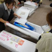 On ice: Fish to be checked for radiation are delivered to Marine Ecology Research Institute in Chiba Prefecture on the morning of Dec. 10. | KAZUAKI NAGATA