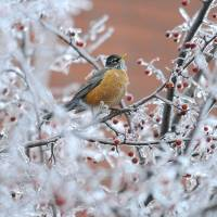 Ice berries: An American robin searches for food on a frozen tree in Augusta, Maine, on Sunday. | AP
