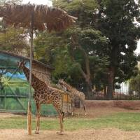 Suicide watch: Giraffes at Cairo's Giza Zoo stand near a feeding pole on Dec. 11. | THE WASHINGTON POST