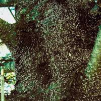 Tree mosquitoes: Balsam woolly adelgids look like tiny white dots along the limbs and trunks of fir trees. The bugs puncture the bark and suck the sap. | THE WASHINGTON POST