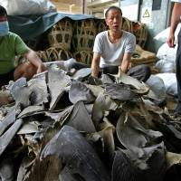 Off course: Workers prepare shark fins for sale in Hong Kong in this file photo. | AFP-JIJI