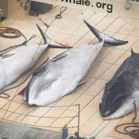 Catch of the day: This handout photo taken on Sunday shows three minke whales dead on the deck of the Japanese factory ship Nisshin Maru inside a Southern Ocean sanctuary, according to anti-whaling activists Sea Shepherd. | AFP-JIJI/SEA SHEPHERD AUSTRALIA LTD/TIM WATTERS