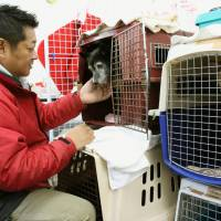 Temporary digs: Takashi Wagatsuma, head of animal shelter operator Dogwood, checks on a dog separated from its owner by the March 2011 earthquake and tsunami disasters at the shelter's kennel in Sendai in December. | KYODO