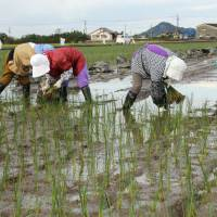 Rush to riches: Women plant rush seedlings by hand in  Yatsushiro, Kumamoto Prefecture, in November. Below: Farmer Minoru  Tabuchi, who is developing stain-resistant natural tatami mats, works in a rush field. | KYODO