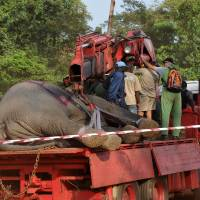 Packed pachyderm: A truck transports an elephant to a safer area on Jan. 20 in the Ivorian village of Tapegue. | AFP-JIJI