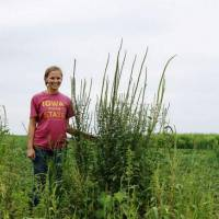 Resistance is fruitful: The weed Palmer's amaranth, shown here on an Iowa farm last summer, is resistant to the herbicide glyphosate and is expected to be a problem for farmers this year. | AP